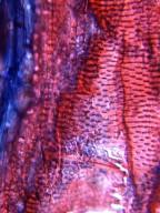 MALPIGHIACEAE Stigmaphyllon caatingicola