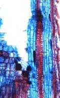 MALPIGHIACEAE Stigmaphyllon saxicola