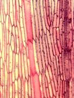 NYCTAGINACEAE Bougainvillea spectabilis lateritea