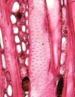 SALICACEAE Hasseltiopsis dioica