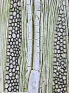 ANNONACEAE Monodora myristica