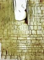 MYRISTICACEAE Staudtia kamerunensis
