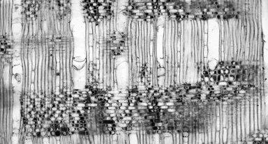CUNONIACEAE Platylophus trifoliatus