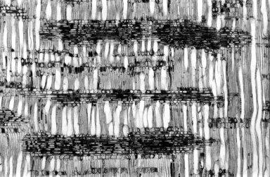 CUNONIACEAE Weinmannia trichosperma