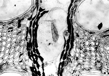 VITACEAE Ampelocissus polystachya