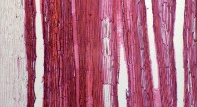 AMARANTHACEAE Chamissoa altissima