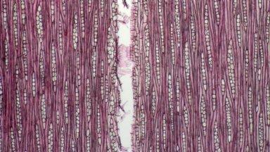 ANACARDIACEAE Anacardium giganteum