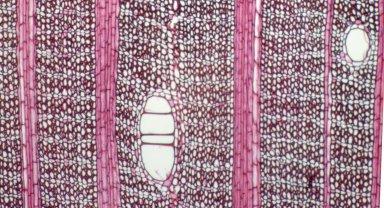 ANNONACEAE Anonidium mannii