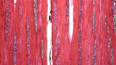 ANNONACEAE Duguetia stelechantha