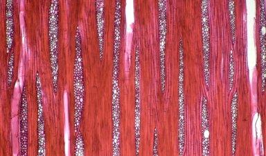 ANNONACEAE Duguetia surinamensis