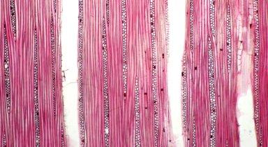 ANNONACEAE Xylopia nitida