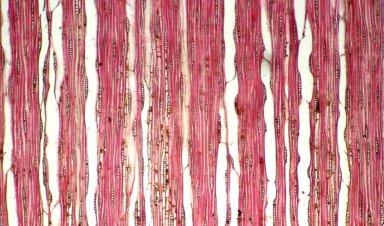 APOCYNACEAE Aspidosperma parvifolium