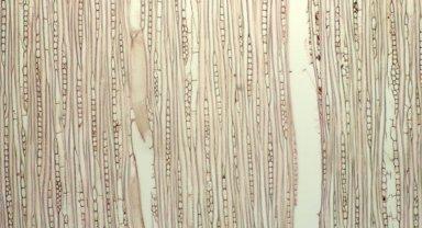 APOCYNACEAE Himatanthus bracteatus