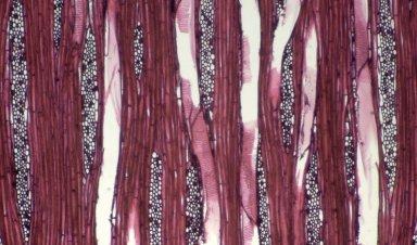 ARALIACEAE Schefflera robusta