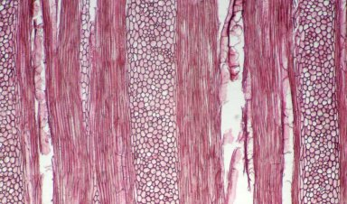 ARISTOLOCHIACEAE Aristolochia arborea