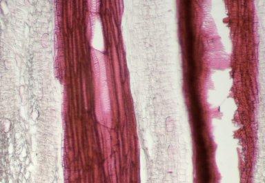 ARISTOLOCHIACEAE Aristolochia didyma
