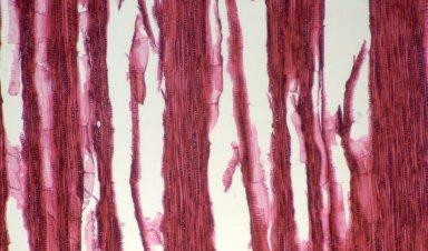 ASCLEPIADACEAE Secamone myrtifolia