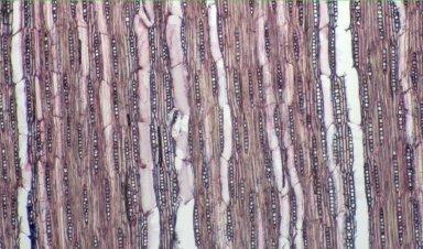 BIGNONIACEAE Tabebuia roseoalba