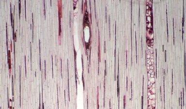 BURSERACEAE Protium altsonii