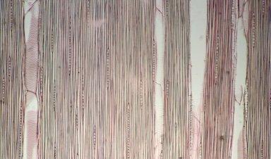 BURSERACEAE Protium pullei