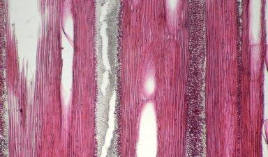 CELASTRACEAE Cuervea kappleriana