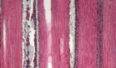 CELASTRACEAE Pristimera paniculata