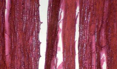 CELASTRACEAE Salacia cf. miqueliana