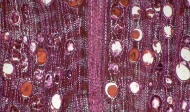 CELASTRACEAE Salacia multiflora