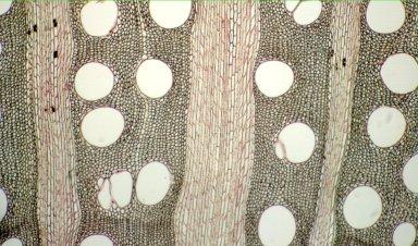 CELASTRACEAE Simicratea welwitschii