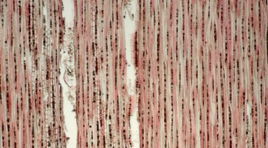 CHRYSOBALANACEAE Licania ovalifolia