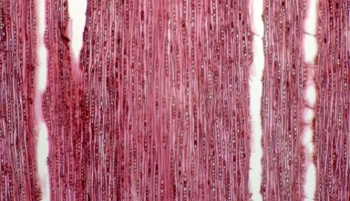 CONNARACEAE Rourea pubescens