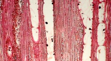 CONVOLVULACEAE Dicranostyles mildbraediana