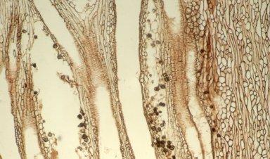 CONVOLVULACEAE Ipomoea murucoides