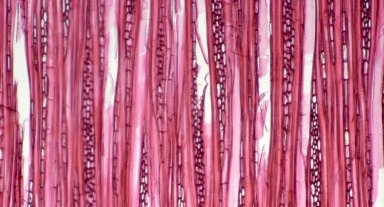 CORNACEAE Mastixia eugenioides