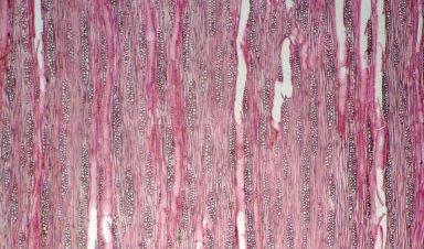 CAPPARACEAE Boscia angustifolia