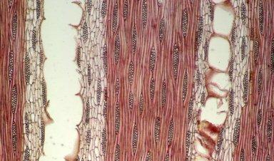 LEGUMINOSAE DETARIOIDEAE Afzelia quanzensis