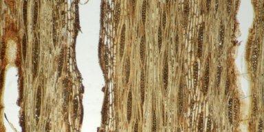 LEGUMINOSAE CAESALPINIOIDEAE Afzelia xylocarpa