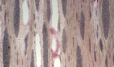 LEGUMINOSAE CAESALPINIOIDEAE Gleditsia aquatica