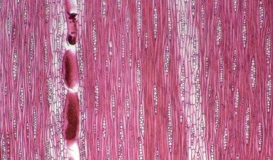 LEGUMINOSAE CAESALPINIOIDEAE Phyllocarpus pterocarpus