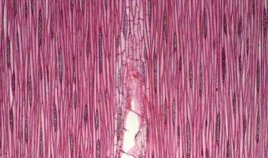 LEGUMINOSAE CAESALPINIOIDEAE Schizolobium amazonicum