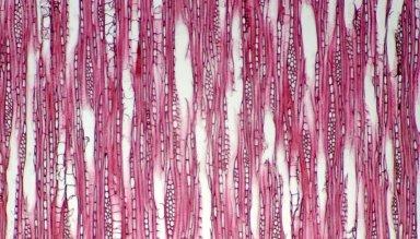 CUNONIACEAE Weinmannia pubescens