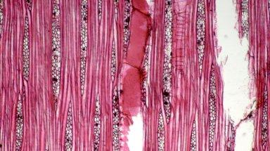 TETRAMELACEAE Octomeles sumatrana