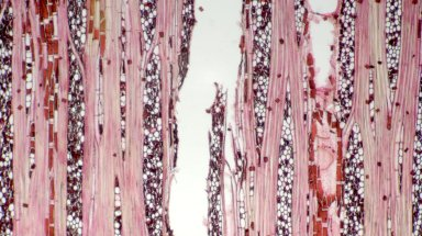 DIPTEROCARPACEAE Shorea parvifolia