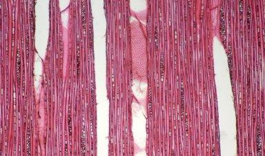 ELAEOCARPACEAE Elaeocarpus tectorius