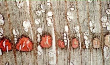 ELAEOCARPACEAE Sloanea amplifrons