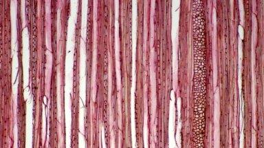 EUPHORBIACEAE Acalypha samydifolia