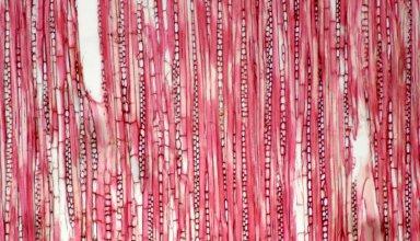 PUTRANJAVACEAE Drypetes variabilis