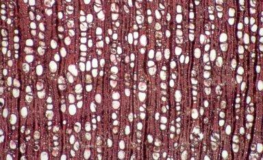 PICRODENDRACEAE Petalostigma quadriloculare