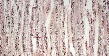 PHYLLANTHACEAE Pseudolachnostylis maprouneifolia glabra