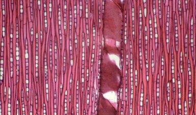 EUPHORBIACEAE Sapium obovatum